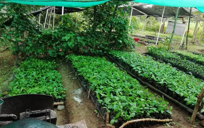 ACP reforesta 65 hectáreas en la región de Azuero