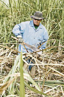Tifón pone en peligro cosecha de azúcar