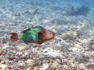 Corales del Caribe, en peligro