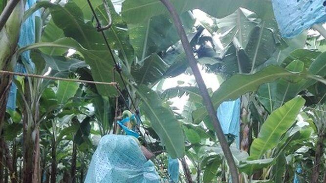 Mil trabajadores paralizan bananera en Bocas del Toro