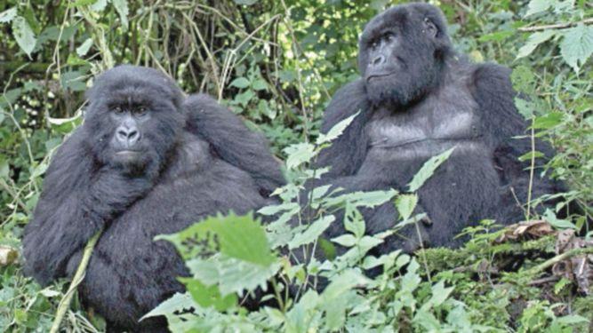 Las poblaciones de ballenas y de gorilas de montaña aumentaron