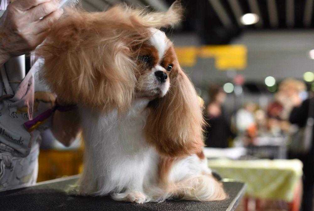 El certamen canino de Nueva York, un asunto de profesionales