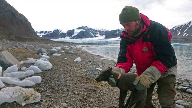 Una zorra polar recorre 3,500 km sobre capa de hielo en menos de 80 días
