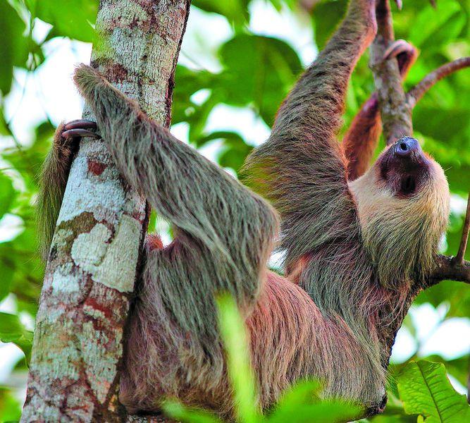 En defensa del perezoso y su hábitat