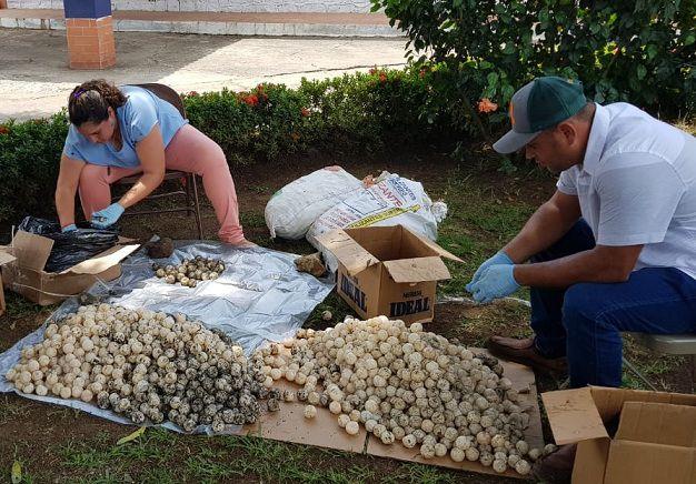 Sancionan a conductor de bus por $7 mil por tráfico de huevos de tortuga en Los Santos