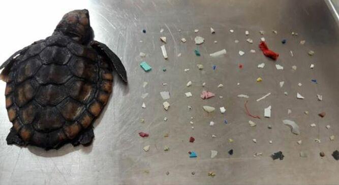 Tortugas comen  plástico en vez de con algas y mueren por desnutrición