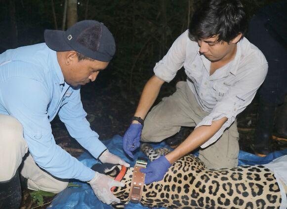 Chucunaque, el primer jaguar con collar GPS