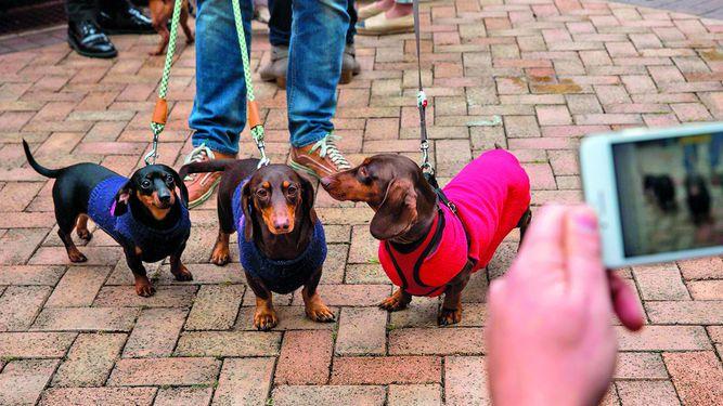 Celebran primera marcha de perros salchicha