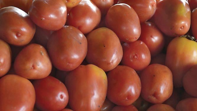 Productores de tomate ponen a prueba nueva semilla