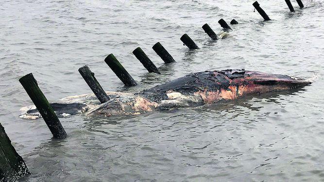 Muerte de ballenas