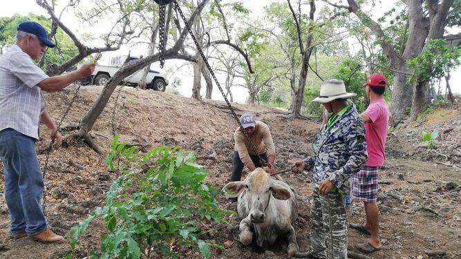 Rescatan ganado de las lagunas en Azuero
