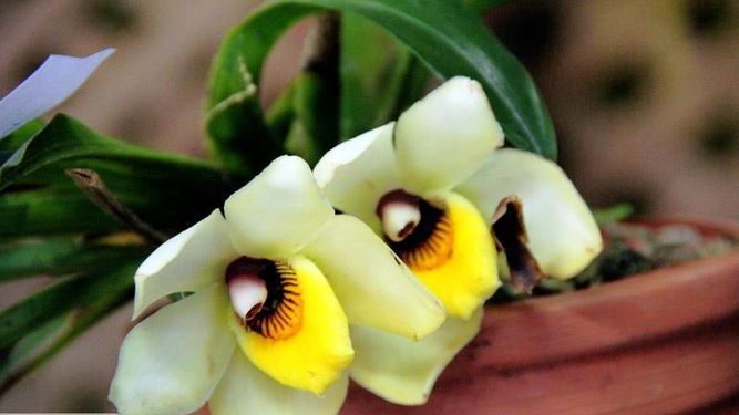 Se inicia la feria de las orquídeas en Boquete, Chiriquí