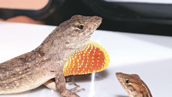 Anolis marrón cubano, el nuevo reptil que vive en la ciudad de Panamá
