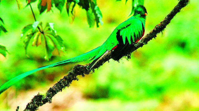 El ave quetzal, al borde de extinción