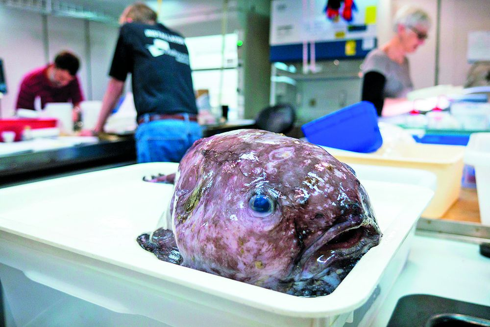 Exhibición de peces 'feos' del fondo del mar