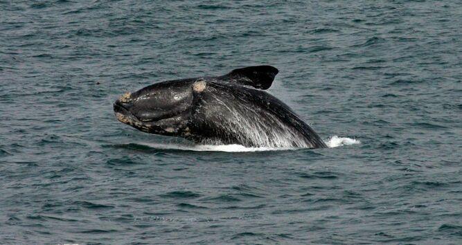 Ballenas adaptan su comunicación para proteger a sus crías