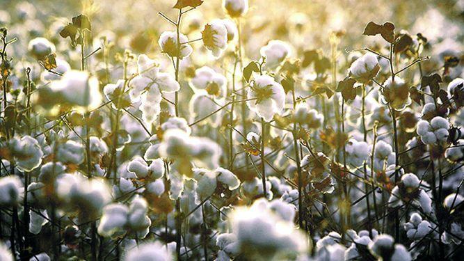 Producción mundial de algodón crecerá 6.9%