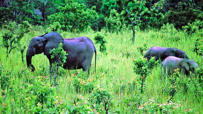 Cacería extermina elefantes en reserva de Gabón