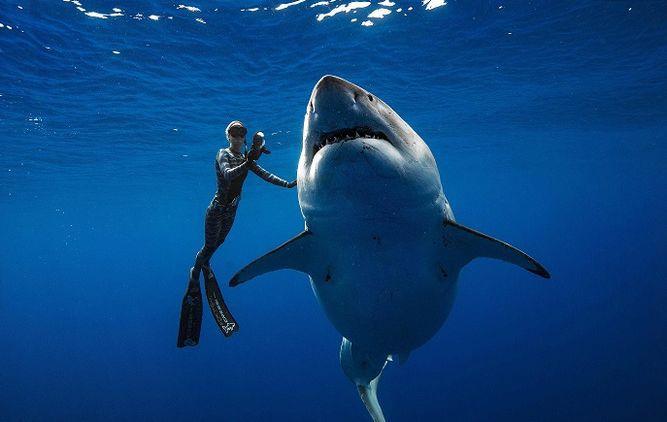 Buzos nadan con gigantesco tiburón en costas de Hawái