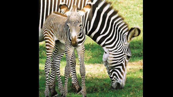 La ventaja de las cebras al pintarse rayas blancas en sus cuerpos