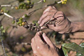 Se enfría café latinoamericano