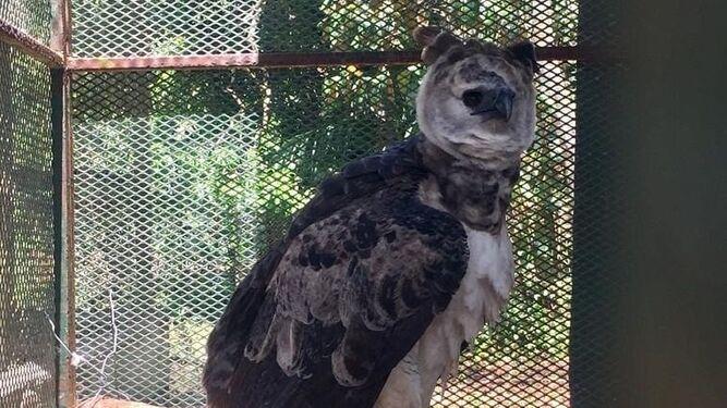Hurtan águila harpía del parque Summit; presentan denuncia en el Ministerio Público