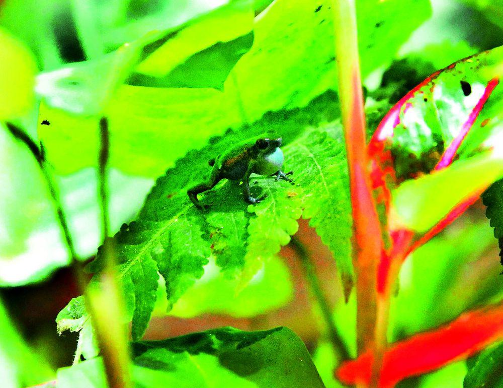 La recuperación de anfibios