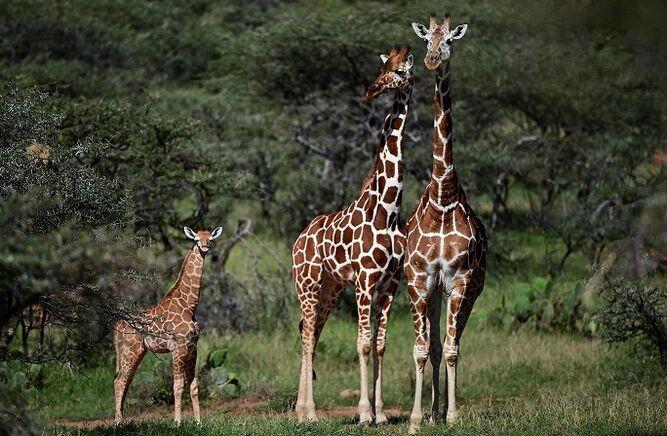 La jirafa y la amenaza de 'extinción silenciosa' en África