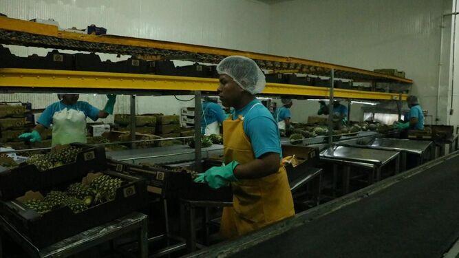 Panamá empieza exportación de piñas de La Chorrera al mercado chino