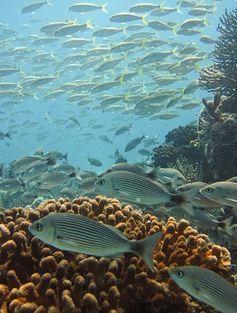 Biólogo panameño estudia la 'retardación' del parto en un tiburón bambú hembra