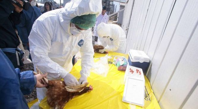 Empresa chilena detecta gripe aviar