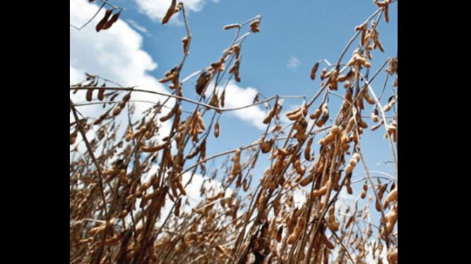 Clima seco afecta el rendimiento de la soja en Brasil