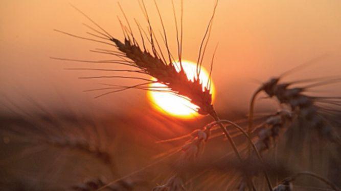 China compraría 7 millones de toneladas de trigo de EU