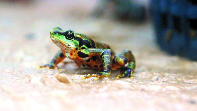 Estimulan supervivencia de anfibios