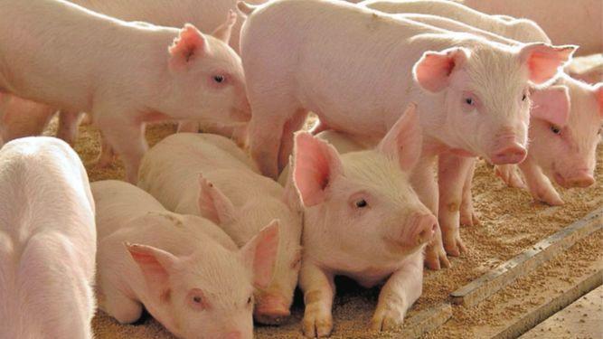 Producción de carne de cerdo se dinamiza en trimestre