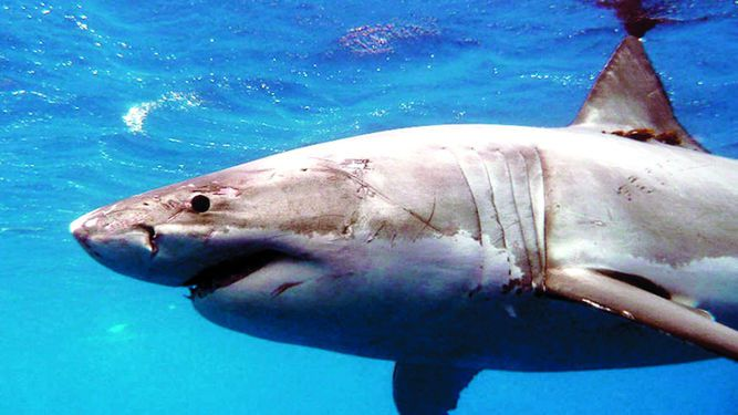 Más tiburones blancos están visitando Cape Cod