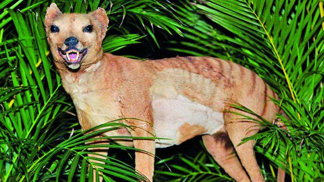 El destino de extinción del tigre de Tasmania