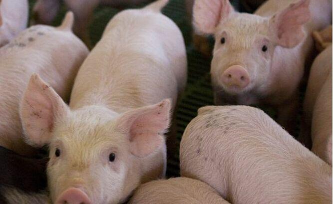 Alerta sanitaria: prohíben entrada a Panamá de material genético y productos derivados de cerdo