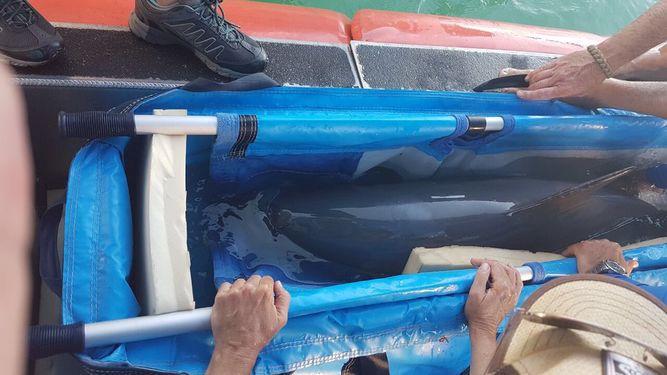 Investigadores en México atrapan a una vaquita marina