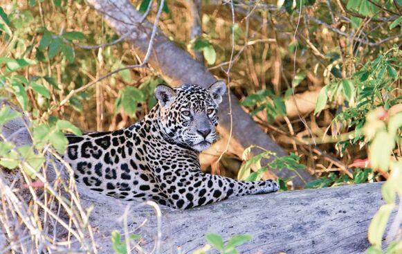 Fomentan cuidado del jaguar,  'el guardián de los bosques'