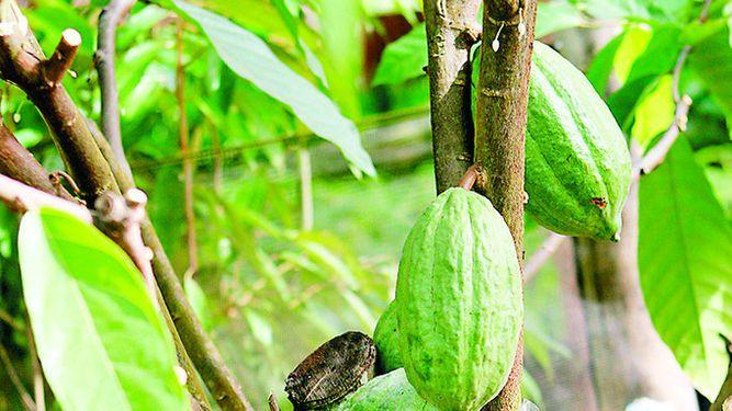 Lluvias afectan cultivos de cacao