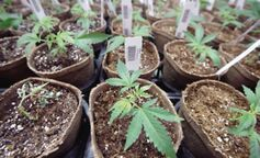 Uso del cannabis medicinal, un tema a debate