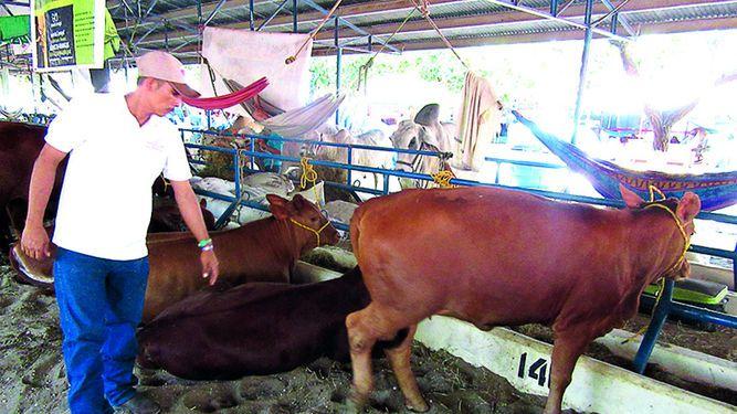 Aumenta la cría de brangus en Panamá