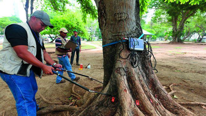 Estudian estado interno de los árboles urbanos