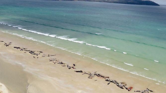 Mueren encalladas 145 ballenas piloto