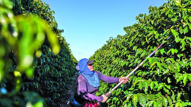 Colombia renovará hectáreas de café