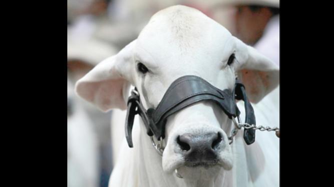 Sacrificio de ganado vacuno crece 7.6% hasta septiembre