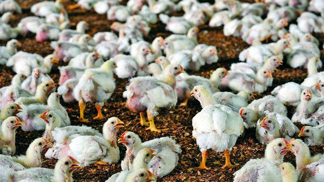 Importación de carne de pollo creció 172%