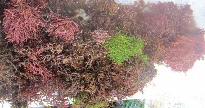 Algas del caribe panameño, con sello de exportación