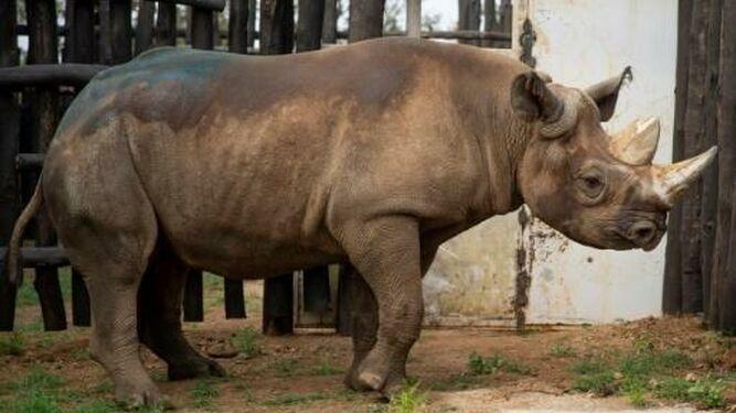 Trasladan a Tanzania nueve rinocerontes negros sudafricanos